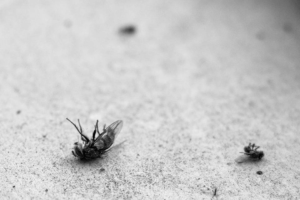 Fly, Dead, Ants, Insect, Pest, Macro, Fauna, Black